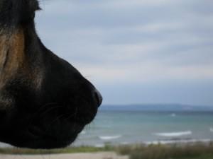 German Shepherd Dog Looking out over Lake Huron
