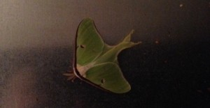 Luna Moth Mechanicstown May 2014 2